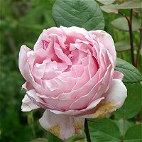 Brother-Cadfael-Rose